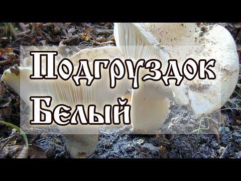 Подгруздок Белый - Сыроежка Превосходная - Russula Delica