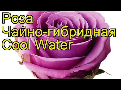 Роза чайно-гибридная Прохладная вода. Краткий обзор, описание характеристик Cool Water