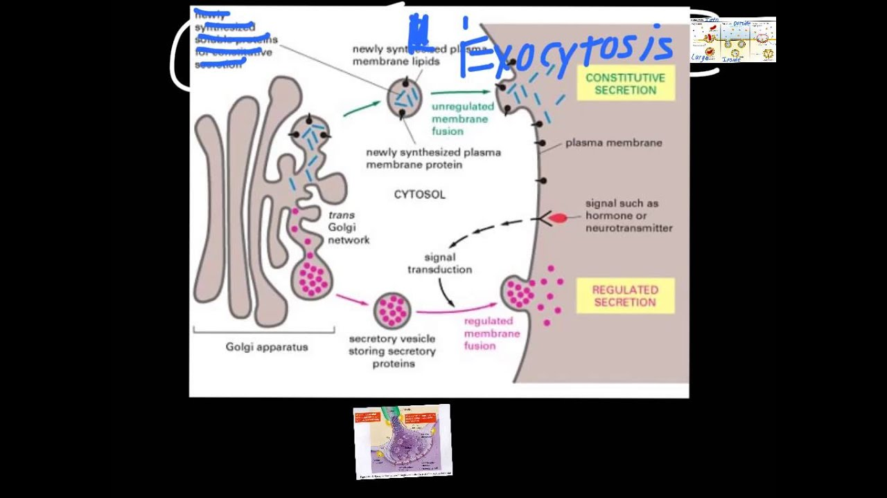 Cell Transport: Endocytosis & Exocytosis - YouTube