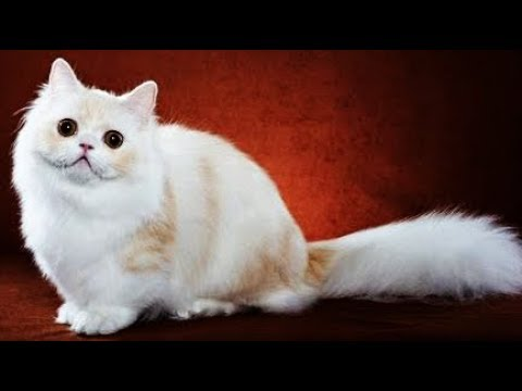 Top 5 rare cat in the world