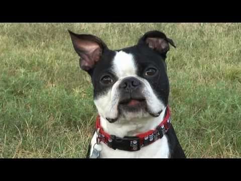Talking Boston Terrier Commercial - Hudiburg Subaru