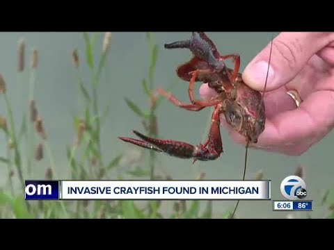 Invasive Crayfish Found In Michigan