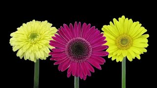 Time-lapse of Blooming Daisies Stock Video