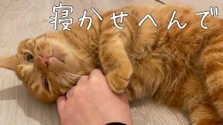 寝ようとする飼い主を全力で阻止する猫がかわいい!