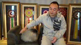 北京犬又称狮子狗,在中国当地可说是备受欢迎的贵族宠物。然而好景不长...