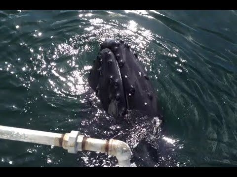 Humpback Whale swims and splashes with spectators | Doovi