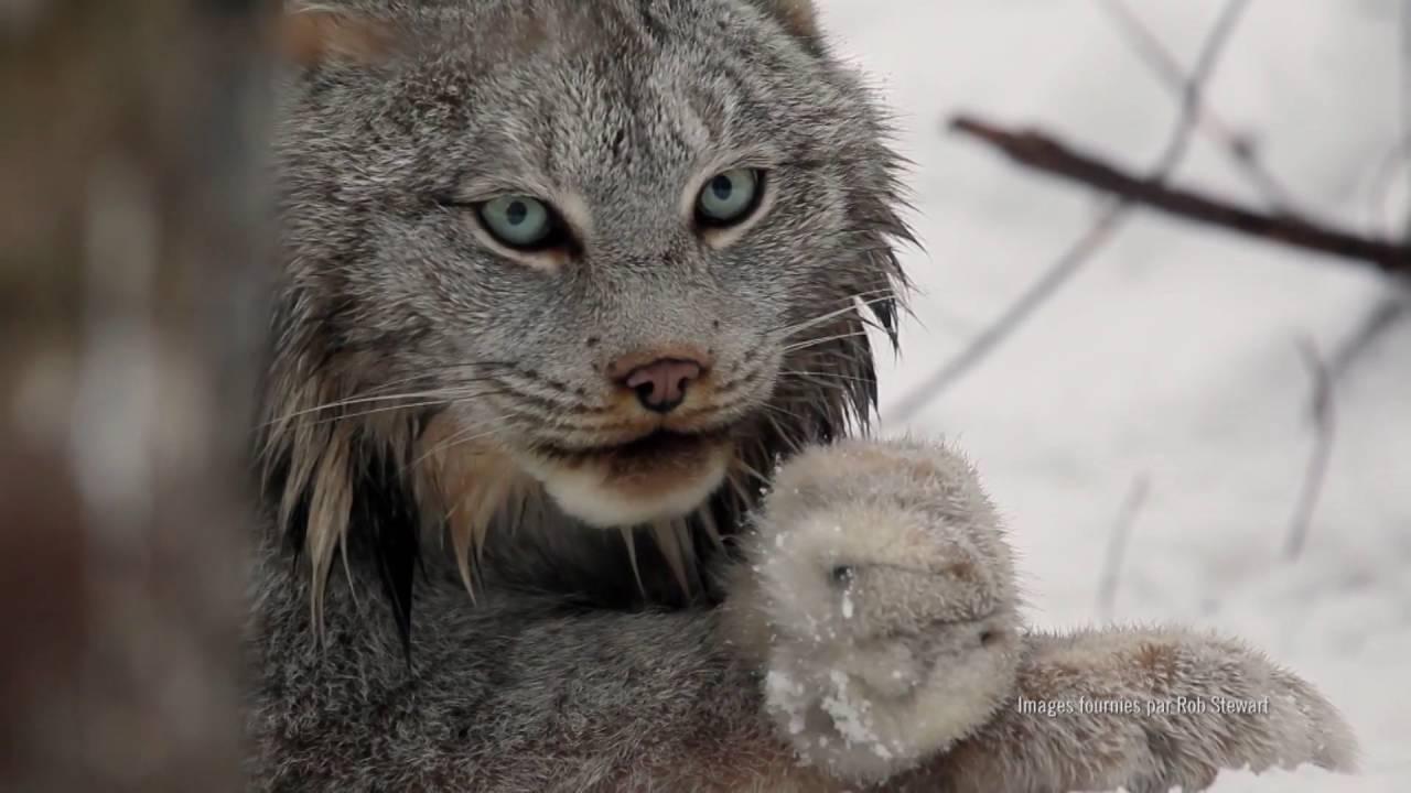 Lynx  YouTube