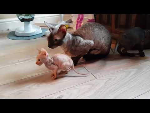 Cornish rex kittens ( little dragon )