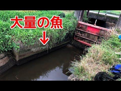 水門�閉�られ�用水路��り残�れ�大��魚を����
