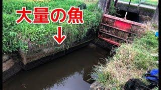 水門が閉められた用水路に取り残された大量の魚を捕獲!! thumbnail