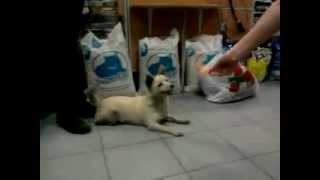 Маленькая собачка Белка ищет дом