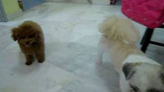 Toy poodle: Jim [5mths] Shih tzu: Hanaboy [1years old] They love to...