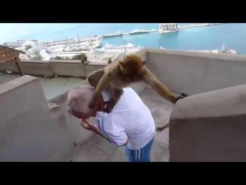 Gibraltar Ape Attack