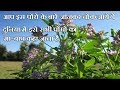 ALFALFA -FATHER OF ALL PLANTS | MYSTERY MEDICAL TECH [HINDI] | MEDICAL FACTS