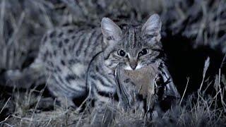 МУРАВЬИНЫЙ ТИГР - маленький, но смертоносный ночной охотник! Это южноафриканская пятнистая кошка