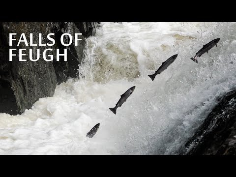 Amazing Salmon Jump At The Falls Of Feugh - Scotland 2017 - 4K