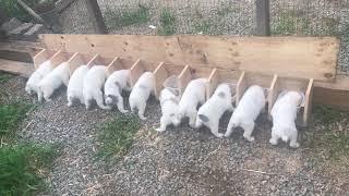 Как правильно кормить щенков Алабая!