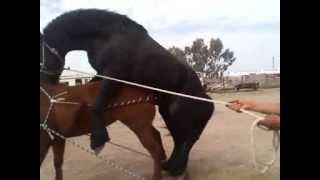 FRIESIAN HORSE BREED