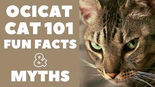 Ocicat Cats 101 : Fun Facts & Myths