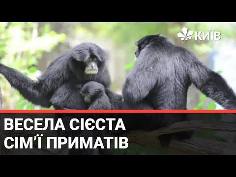 Телеканал Київ: У Київському зоопарку показали, як розважаються примати Сіаманги