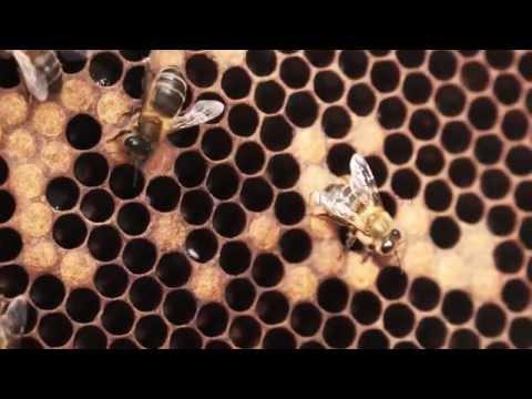 ¿Qué hacer ante un enjambre de abejas? de YouTube · Alta definición · Duración:  1 minutos 15 segundos  · Más de 38.000 vistas · cargado el 06.06.2013 · cargado por Telemadrid