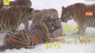 Il drone le filma nel parco, ma le tigri siberiane lo catturano