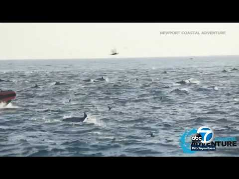 Dolphin stampede greets whale watchers in OC | ABC7