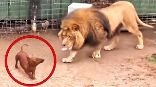 Deixaram um Cachorro Entrar na Jaula de um Leão. O Que Aconteceu Depois Chocou Todo Mundo