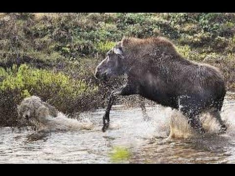 Alce protege a su cria del ataque de dos lobos furiosos  -  increible instinto maternal