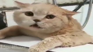 Funny Cats Video   Try Not To Laugh   Funny Cat Compilation   Funny Animals Videos  2019 [ 2 ]