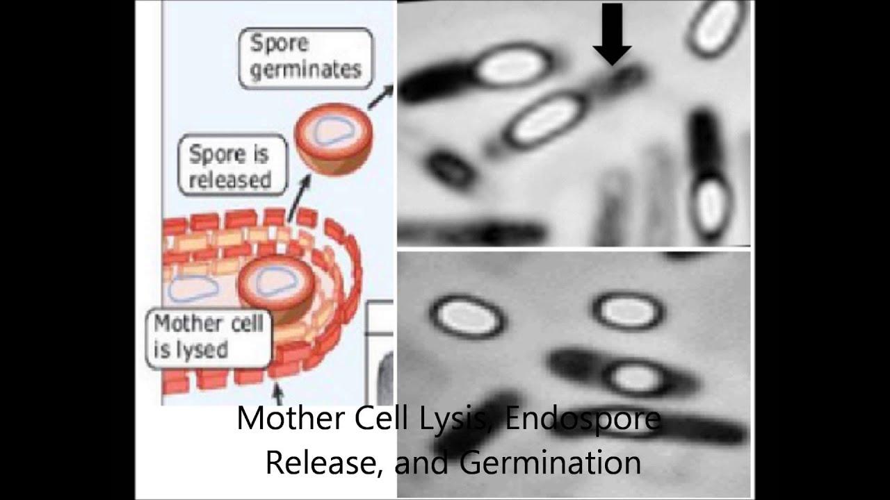 sporulation in bacillus subtilis youtube