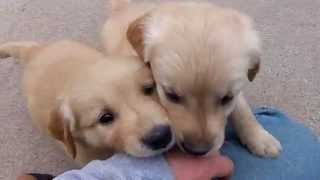 Akc Golden Retriever Puppies Terrell, Tx