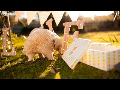 This Albino Echidna has the most epic birthday party