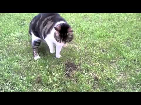 chat qui mange une taupe youtube