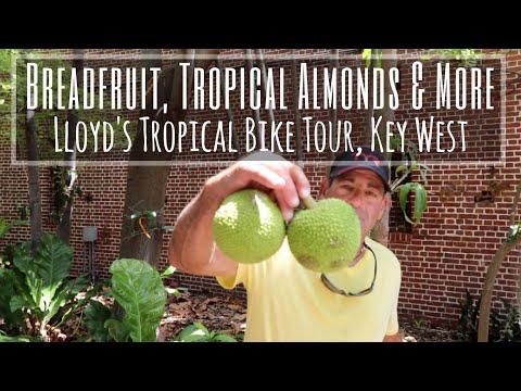 Breadfruit, Tropical Almonds & More (Lloyd's Tropical Bike Tour, Key West Part 3)