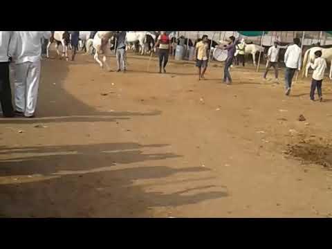 Sarangkheda ( Nandurbar) Horse Dance in Chetak
