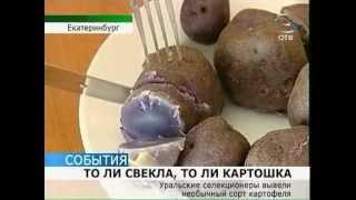Чудо-овощ: то ли свекла, то ли картошка