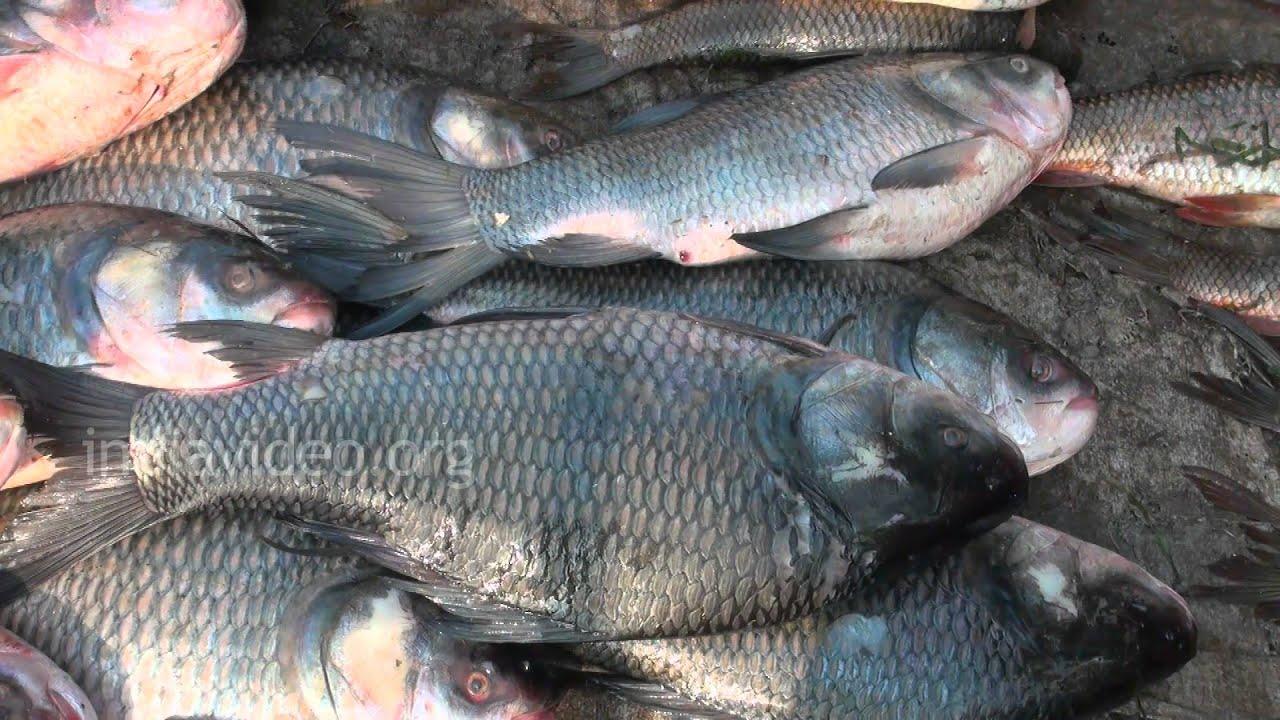 Fish market nagpur youtube for Closest fish market