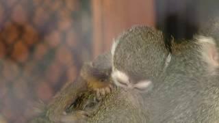 В «Роевом ручье» у пары обезьянок саймири появилось потомство