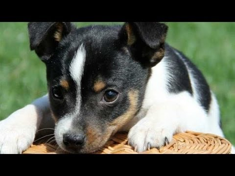 Cute Toy Fox Terrier Puppies