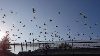 Gołębie Jacka 3 ( pigeons )