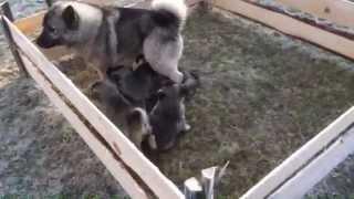 щенки Норвежского Элкхаунда (Норвежская лосиная лайка)