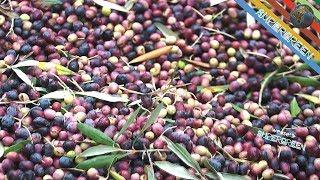 2 - Produzione olio extravergine di oliva - Pesa olive con Ernesto e il Bocca (olio di vello bono)