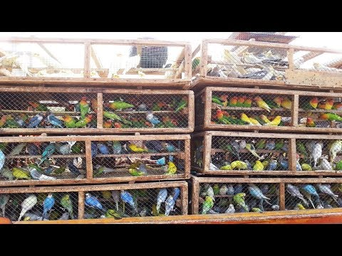 Lalukhet Birds Market In Karachi Latest Video February/17/2019