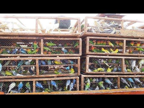 Lalukhet Birds Market In Karachi Latest Video February/17/2019