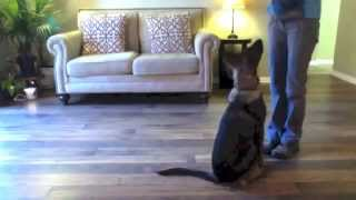 Havok | German Shepherd Puppy | Obedience Training | Amy Glunn | Valor K9 Academy