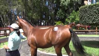 Excelebration x Red Roses Too colt at the 2016 Magic Millions Sale