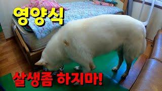 1편 진돗개 영양식/2편 살생 하지 말자! #진돗개빡이…