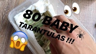 Unboxing 80 [Eighty!!!] BABY TARANTULAS !!! (feat. My Turtle)