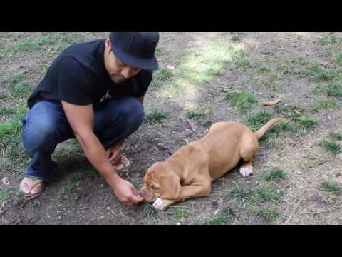 French Mastiff (Dogue de Bordeaux) puppy learns the 'Down' command